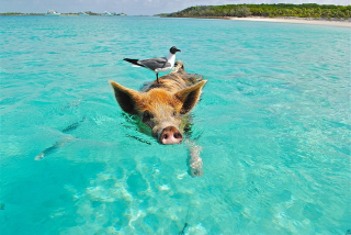 Staniel-cay-swimming-pig-seagull-fish-66258